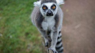 خطر انقراض تمامی لمورهای ماداگاسکار را تهدید میکند
