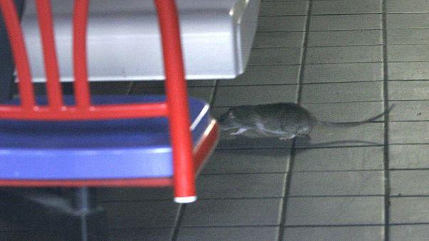 دادستانی پاریس درباره خورده شدن جنازههای اهدایی به دانشگاه پاریس توسط موشها تحقیق میکند