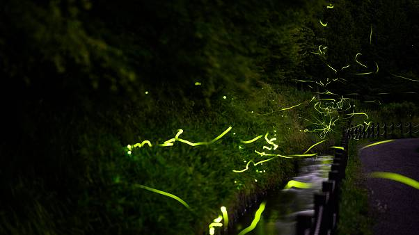 حشرات سراج الليل