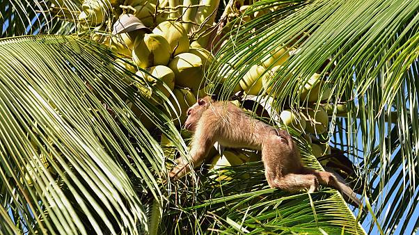 Tayland'da maymun işçi kullanılıyor tartışması