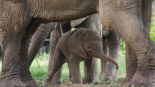 Bir Afrika Fili Macaristan'ın Nyiregyhaza Hayvanat Bahçesi'nde doğduktan 4 saat sonra annesinin yanında