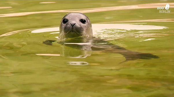 Robbenbaby Seal
