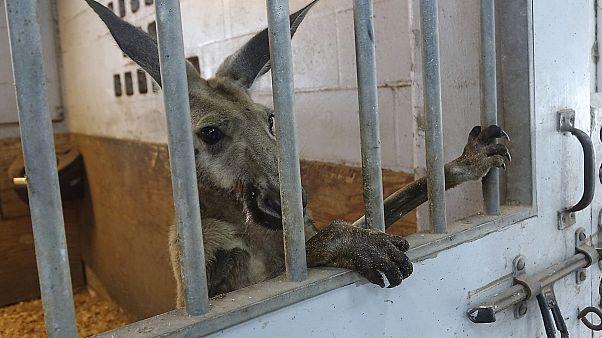 Egy szabadon ugrándozó kenguru lepte meg Fort Lauderdale-t