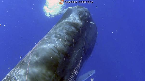Sperm whale trapped in a fishing net in the Aeolian Islands sea, near Sicily, Italy - July 19, 2020