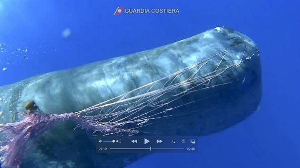 In this image taken from an Italian coast guard video a whale trapped in a fishnet in the waters near the Eolian islands, in the Mediterranean Sea.