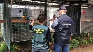 La Guardia Civil ante los animales con los que se traficaba