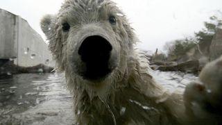 Eisbären ab 2100 nur noch im Zoo?