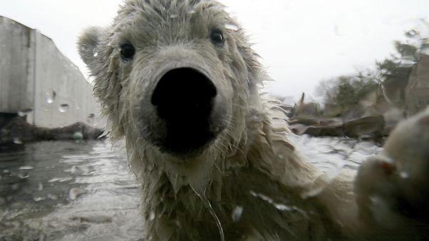 L'ours polaire pourrait s'éteindre d'ici 2100
