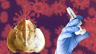 Horseshoe crab blood is used to test the safety of vaccinations and other pharmaceuticals