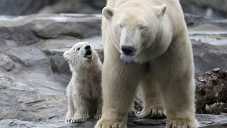 Kutup ayılarının nesli bu yüzyıl içinde tükenebilir