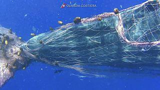 Seit Tagen in einem Fischernetz gefangen: Ein Pottwal vor der Küste Siziliens.