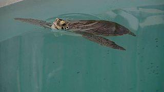 Tortuga liberada en el Algarve, Portugal.