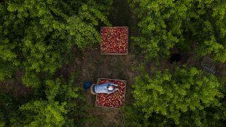Migrantes búlgaros cosechan nectarinas, la mayoría destinadas al mercado alemán, en Fraga, España, el jueves 2 de julio de 2020.
