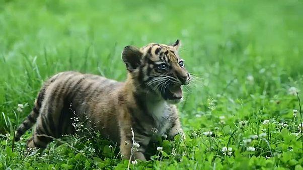 Вроцлав: двухмесячный тигренок вышел на охоту