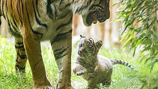 Gehversuche des Tigerbabys im Breslauer Zoo