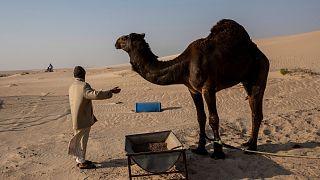 راعي جمل ينظر إلى أحد المشاركين في رالي داكار بالمملكة العربية السعودية