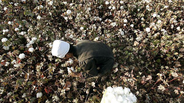 Doğu Türkistan'ın Korla kentinde tarlada pamuk toplayan bir Uygur (arşiv)