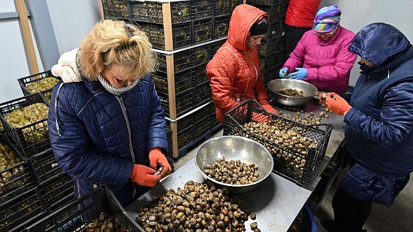 صنعت نوپای پرورش حلزون در اوکراین با قرنطینه اروپا به بحران خورد