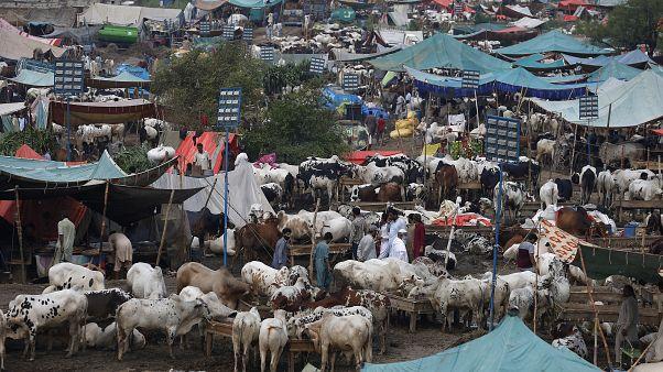 سوق للماشية في إسلام آباد 26 يوليو 2020
