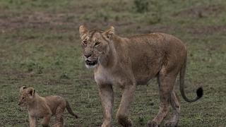 Kenyan Maasai Mara Hit Hard Reserve by COVID-19