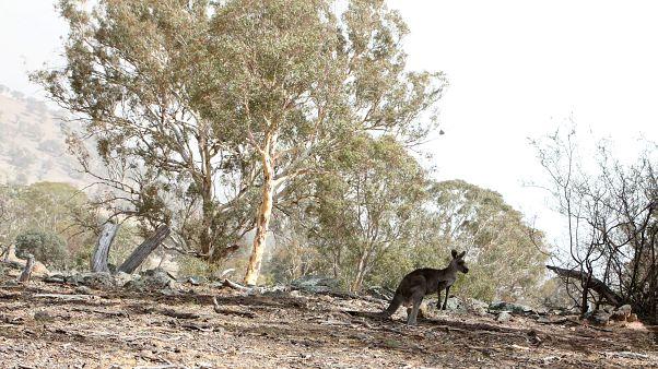 Három milliárd állat pusztulhatott el vagy kellett menekülnie az ausztrál bozóttüzek miatt