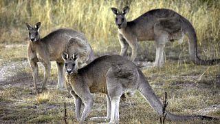 Australia, la strage degli animali: 3 miliardi morti negli incendi