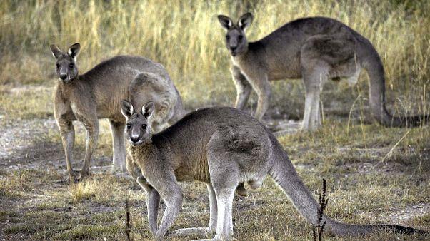Жертвами лесных пожаров в Австралии стали 3 миллиарда животных