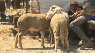 Moroccan farmers struggle Ahead of Eid Al-Adha