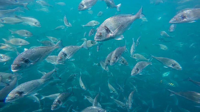 A school of fish swimming in the Arabian Sea