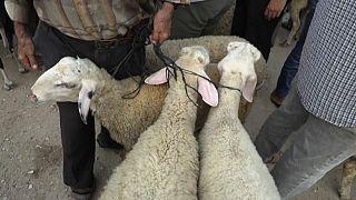 Des moutons sur un marché en Palestine