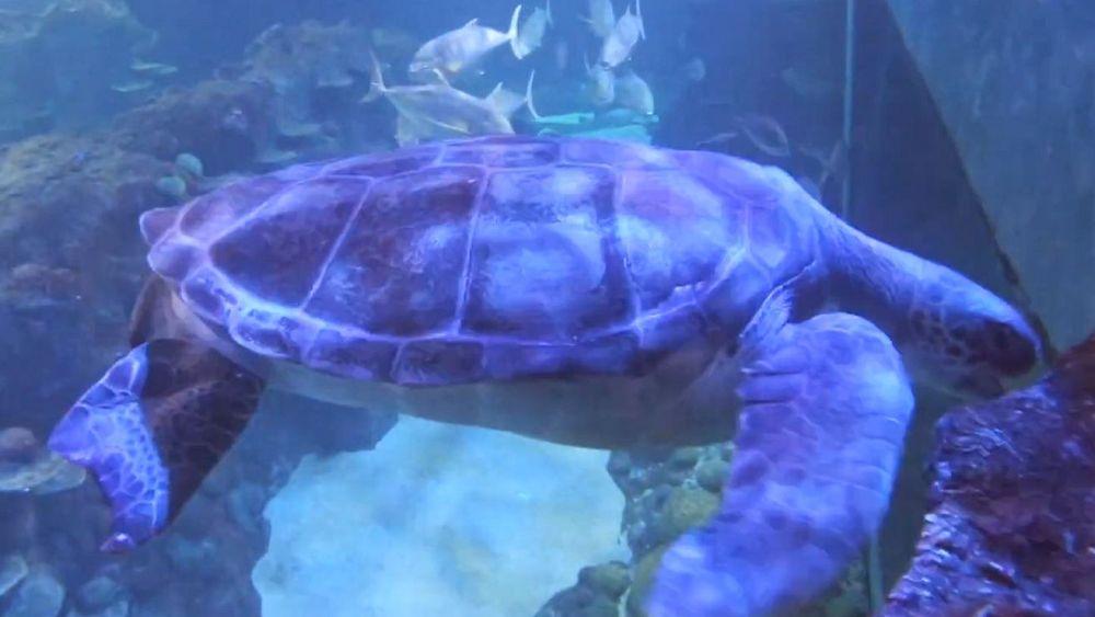 سفر چند صد کیلومتری لاکپشت غولپیکر؛ «پلاگا خوشحال است»