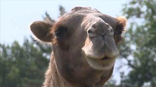 Жителей трёх сёл астраханской области терроризируют верблюды