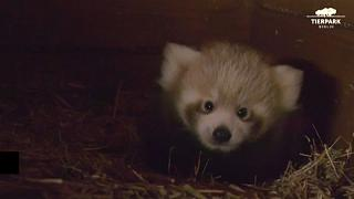 Red Panda is born for the first time in nine years at the Berlin Zoo