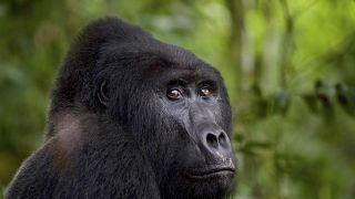Ouganda: 11 ans de prison pour avoir tué un gorille des montagnes