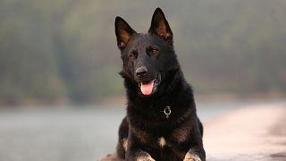 نفوق أول كلب مصاب بفيروس كورونا في أمريكا