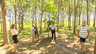 Floresta de árvores híbridas promete aumentar a flitragem de dióxido de carbono