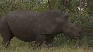 África do Sul acolhe a maior colónia de rinocerontes no mundo.