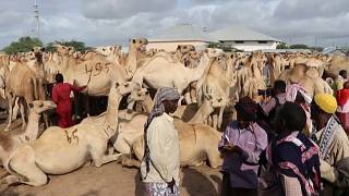Downsized Hajj Hurts Somalia's Livestock Trade