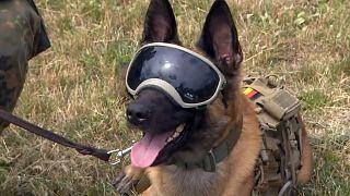 Diensthund der BUndeswehr mit Sonnenbrille