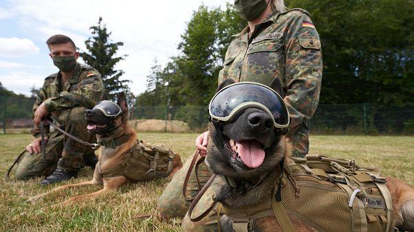 Alemania logra que un grupo de perros rastreadores detecte el coronavirus