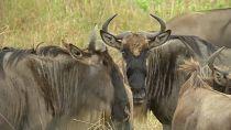 Au Kenya, la faune sauvage menacée