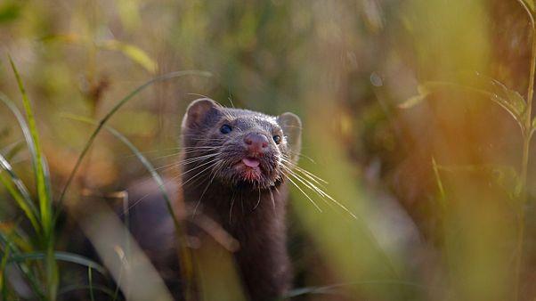 علماء يحققون في إمكانية انتقال كورونا من الحيوانات إلى البشر بعد تفشي العدوى في مزارع لحيوان المنك