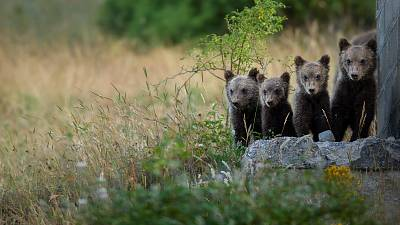 Bear cubs in Abruzzo National Park.