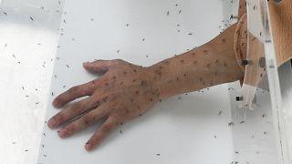 Koronavirüs sivrisinek yoluyla taşınır mı? Covid-19 salgınıyla ilgili merak edilen 5 şey