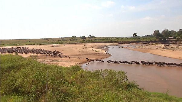 Migration spectaculaire de gnous entre la Tanzanie et le Kenya