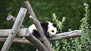 A picture taken on July 9, 2020 shows a panda cub at its enclosure at the Zoologischer Garten zoo in Berlin.