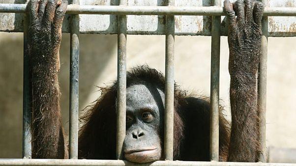 Hayvanat bahçesinde tutulan bir orangutan