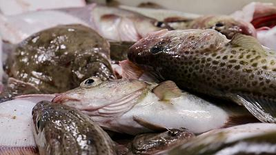Baltic cod and other fishes caught by DTU Aqua researchers on a marine survey