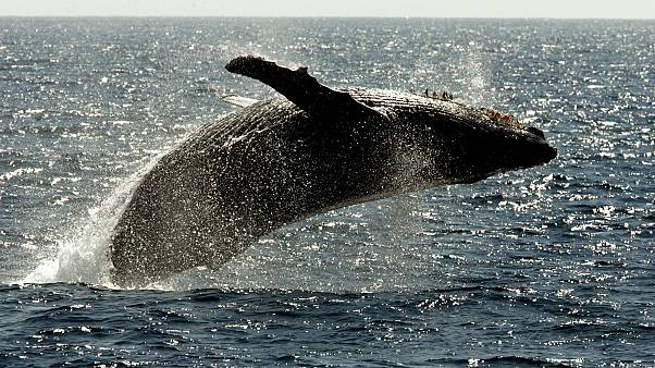 Avustralya'da beraber yüzdükleri balinanın çarptığı iki kişi yaralandı