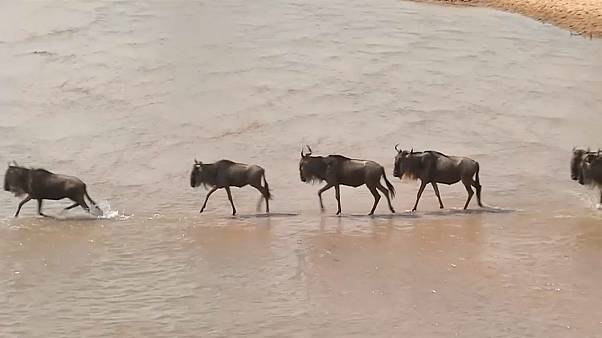 Gnus in Masai Mara